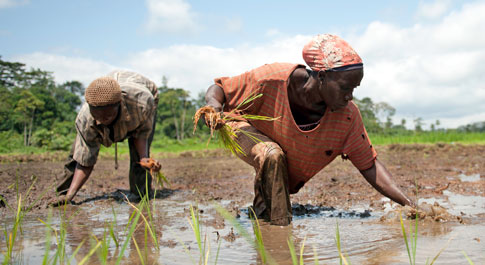 Beartrice Quayee transplants rice in River Gee county, Liberia.