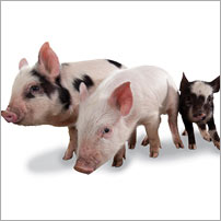 Ethical gift of 3 pigs