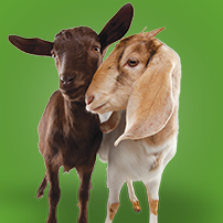 Oxfam Unwrapped - Gift of a Goat Couple