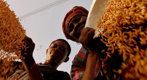 Rice farmers harvesting in Ghana