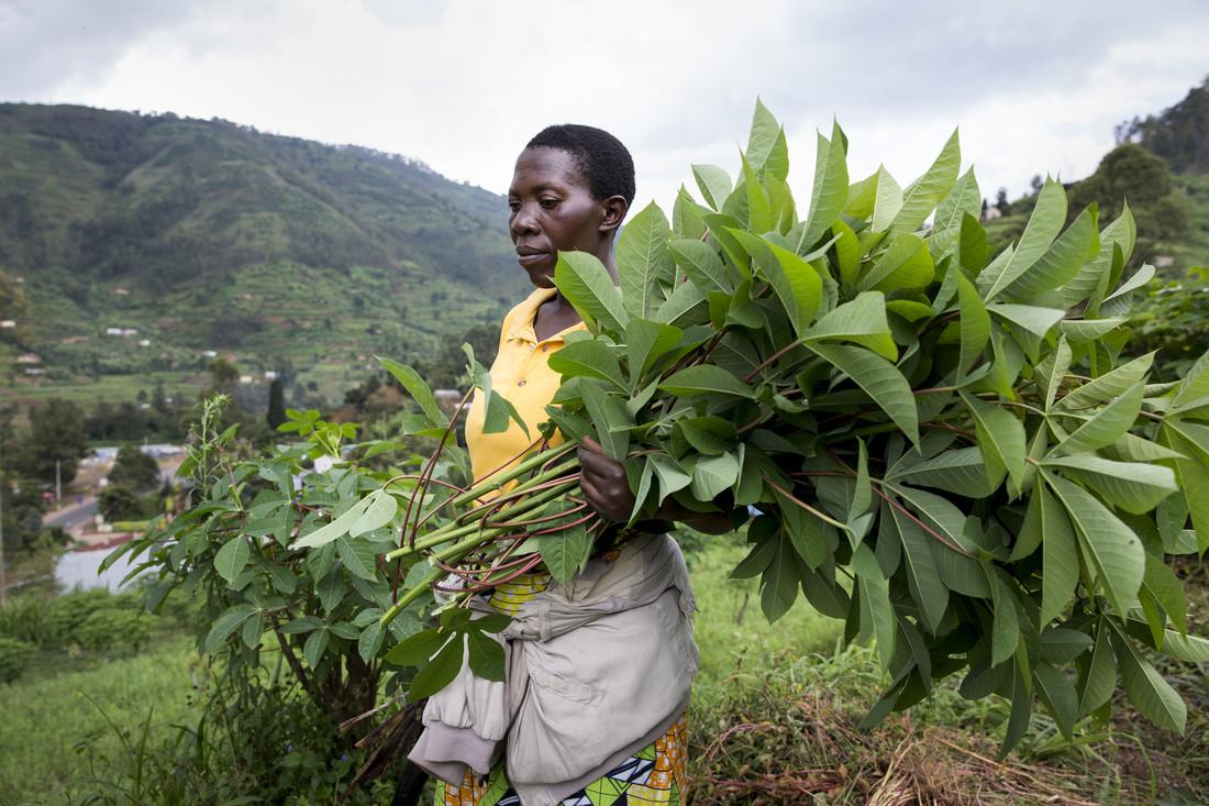 Rwanda cassava producers